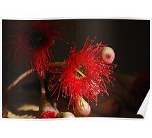 red gum flower Poster