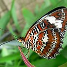 Orange Lacewing Butterfly by margotk