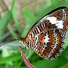 Orange Lacewing Butterfly by Margot Kiesskalt