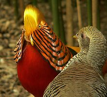 Golden Pheasants by Tom Newman