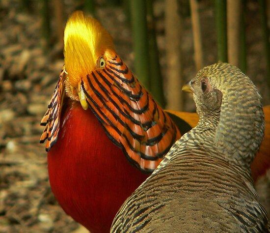 Golden Pheasants by Tom Newman