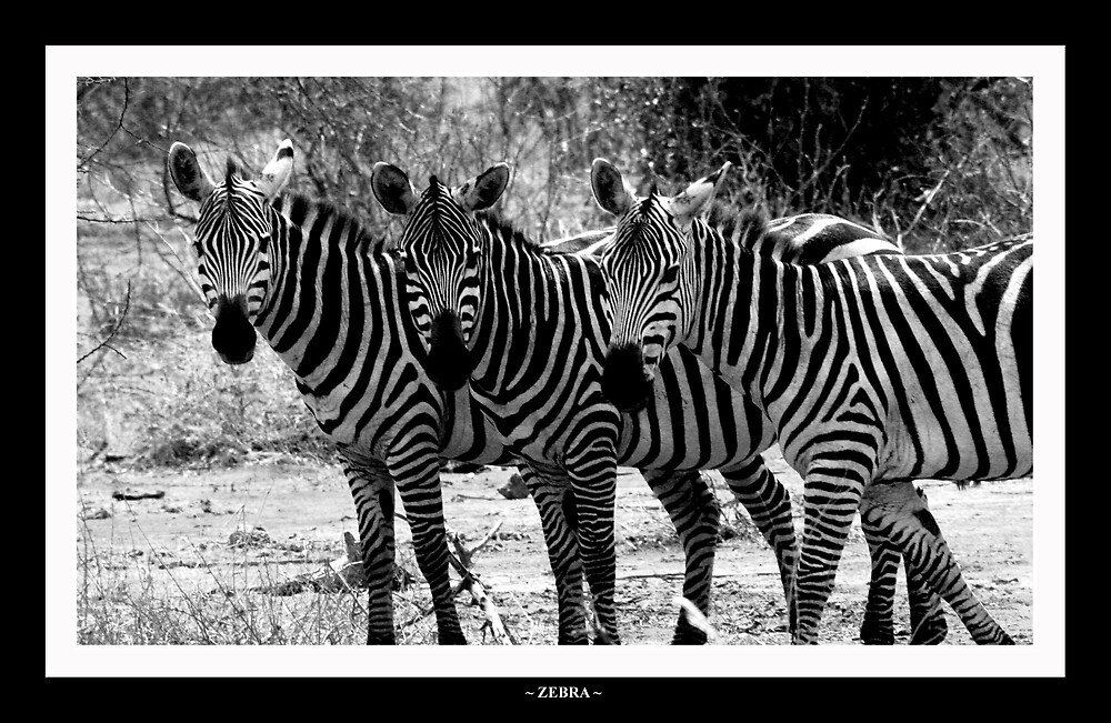 zebra by Oli Johnson