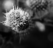 Thistle Uncut by Nigel Dourley