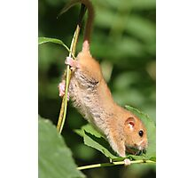Hazel Dormouse Photographic Print
