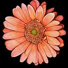 Italia Gerbera by sweetscent62