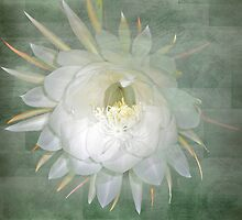 Epiphyllum oxypetallum - Queen Of The Night Cactus by MotherNature2