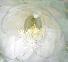 Epiphyllum oxypetallum - Queen Of The Night Cactus Sticker