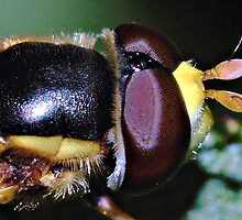 hover fly (head detail) by David  Hall