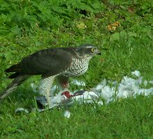 Sparrowhawk by countrypix