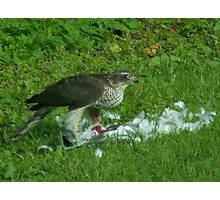 Sparrowhawk Photographic Print