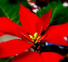 Poinsetta in Bloom by TNRidrnr