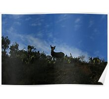 Catalina Deer Poster