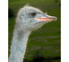 Ostrich Photographic Print