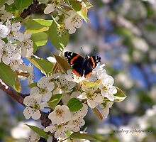 Butterfly in Pear Tree (Texas) by Jamaboop