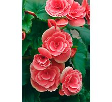 Double Begonia Flowers Photographic Print