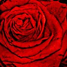 Lost In A Red Rose by Jane Neill-Hancock