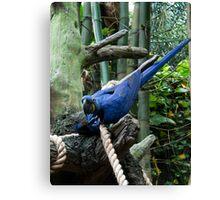 Blue Macaw Tussle Canvas Print