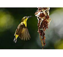 Female Sunbird Photographic Print