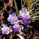 Lilac Crocus Smiling At The Sun by Jane Neill-Hancock