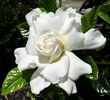 Gardenia delight by Basil