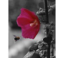 The Pollinator Photographic Print