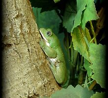 Mexican Leaf Frog by Kimberly Chadwick