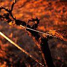 Winter Vine by Paul Foley