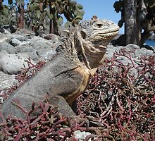 Land Iguana by Zac Gillett
