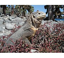 Land Iguana Photographic Print