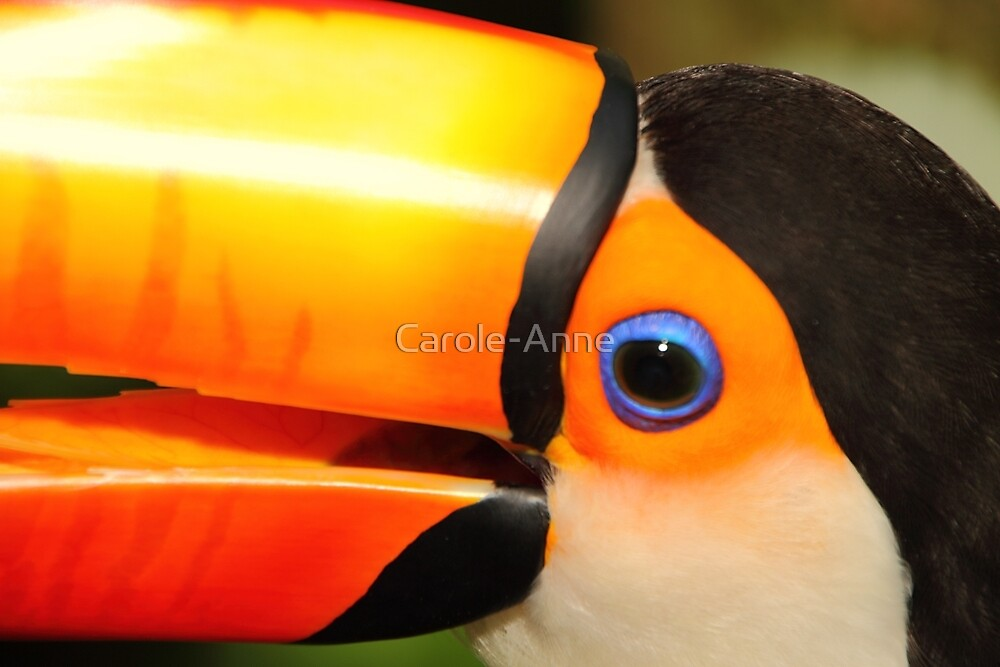 Quaint Bird: Portrait of a Toco Toucan at Iguassu, Brazil. by Carole-Anne