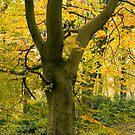 autumn birch by kathywaldron