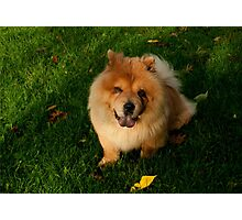 Chow Chow Dog Photographic Print