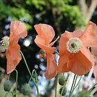 Orange Meconopsis by Sheri Ann Richerson