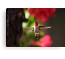 Hovering Hummer Canvas Print