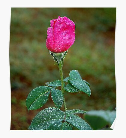 Rose with Droplets after rain. Poster