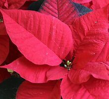poinsettia flower by spetenfia
