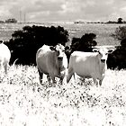 Cows by Katie Sumner-Cann