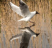 Black Headed Gull Mirror Image by Alec Owen-Evans