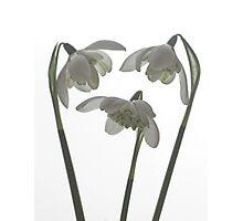 Galanthus nivalis flore pleno Photographic Print