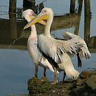 pelicans by emem