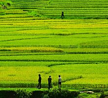 Rice Fields. by bulljup