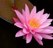 Pink Water Lily by Dency Kane