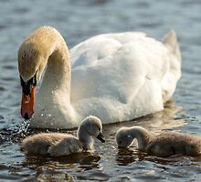 Wild mute swan and baby cygnets by Alec Owen-Evans