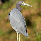 Little Blue Heron by Rich Sirko