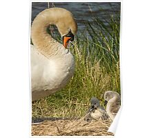 Wild Mute Swan & Cygnet Replicate Poster