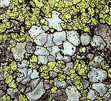 Alpine lichen by Alison Masters