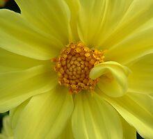 Curled Petal by Belinda Piffero