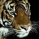 Tiger  by Robyn Carter