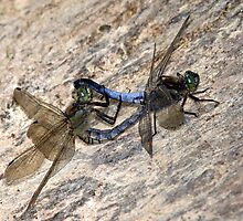 Mating Black-tailed Skimmer Dragonflies by Neil Bygrave (NATURELENS)
