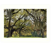 Oaks of St. Francisville Art Print